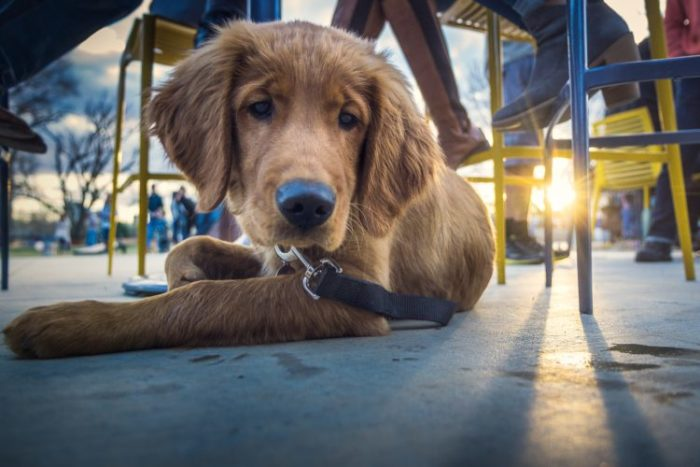 service dog - golden retriever